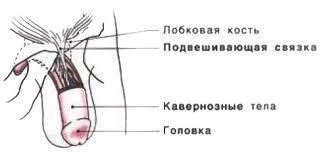 Подвешивающая связка - ключ к большинству способов увеличения пениса.