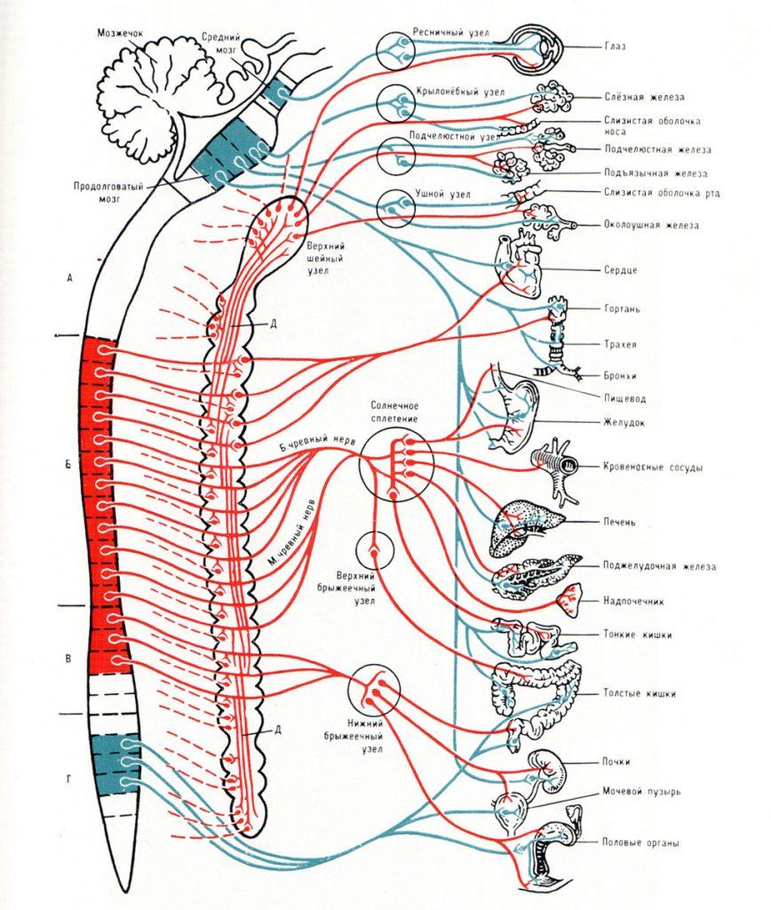Нервы спинного мозга